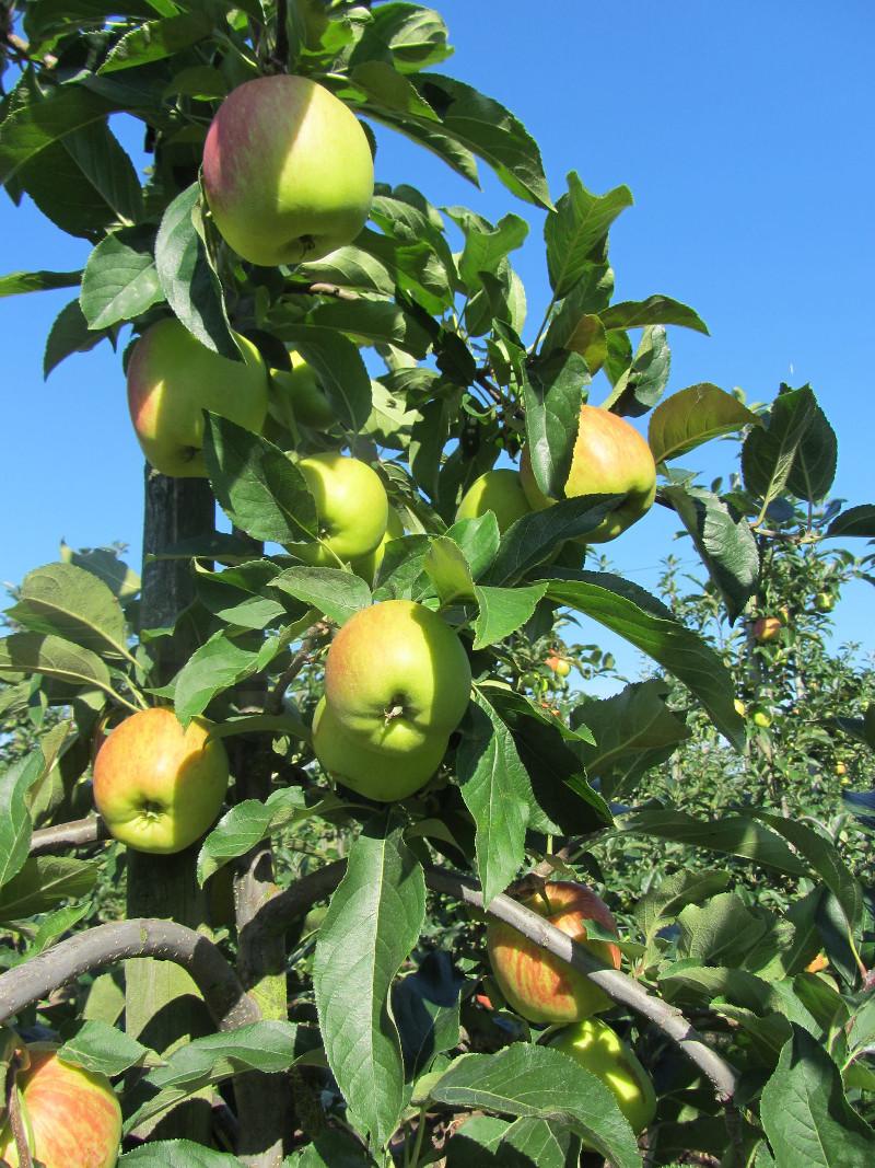 Afbeelding van een Appelboom